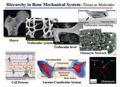 骨のリモデリング